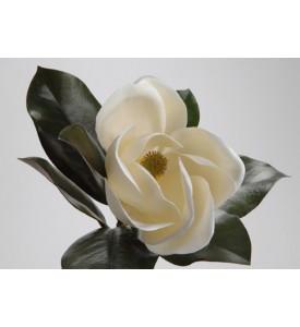 Tige Magnolia Grandiflora