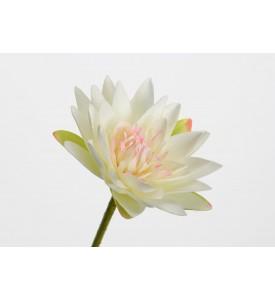 Tige Lotus Carnea